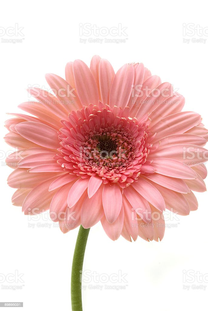 Gerbera Daisy royalty-free stock photo