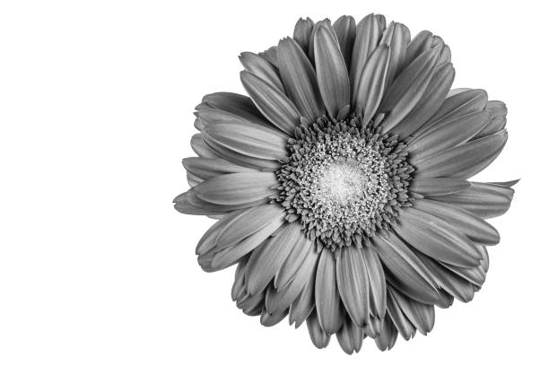 Best Black And White Daisy Stock Photos, Pictures ...