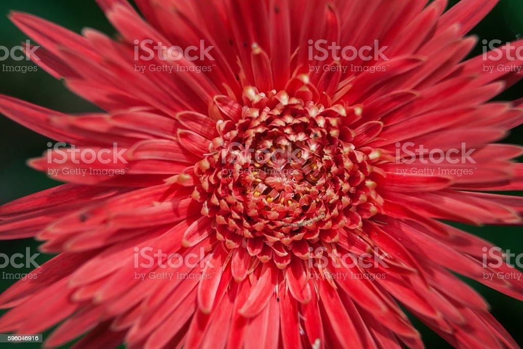 Gerbera flower close up. royalty-free stock photo