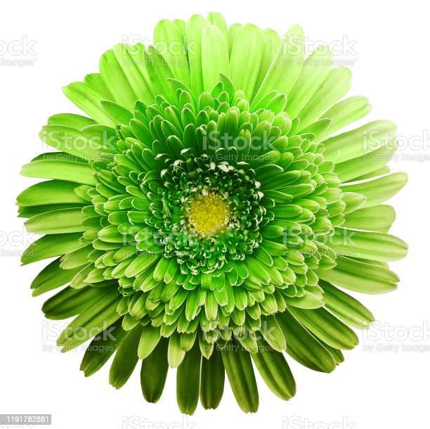 Gerbera flower green flower isolated on white background no shadows picture id1191782581?b=1&k=6&m=1191782581&s=612x612&h=eyqkqhvcgsv ddkusvnl3haoxic3p6zkkyehx0wygak=