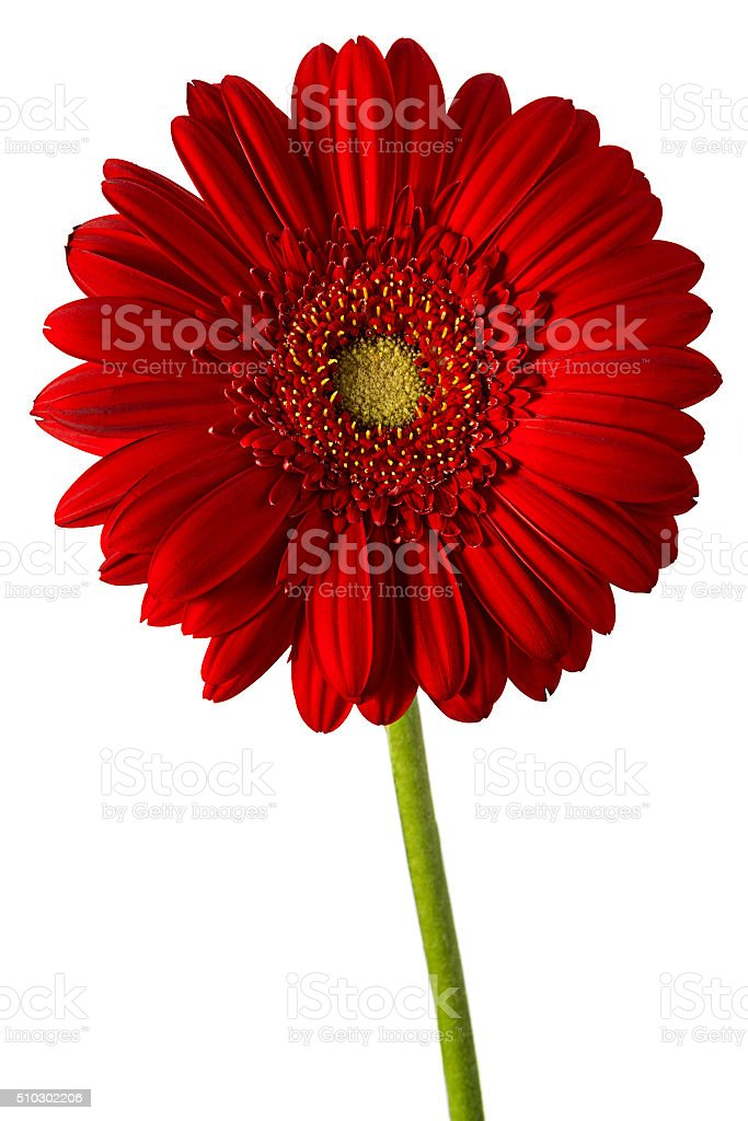 Gerbera flower head stock photo