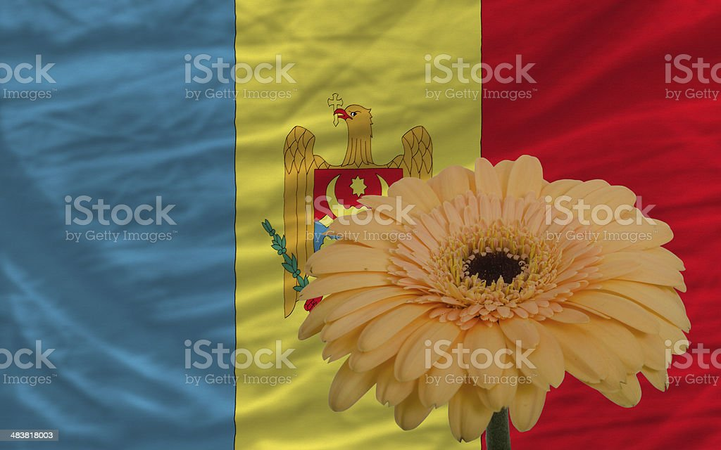 gerbera flower in front national flag of moldova stock photo