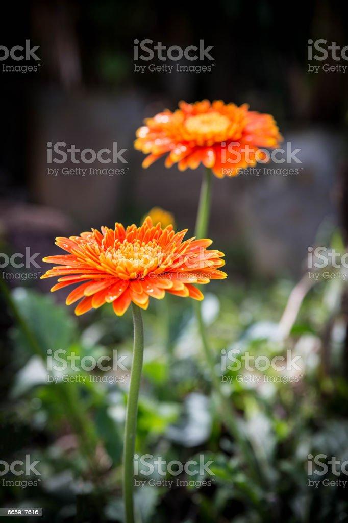 Gerbera Flower in the garden foto stock royalty-free