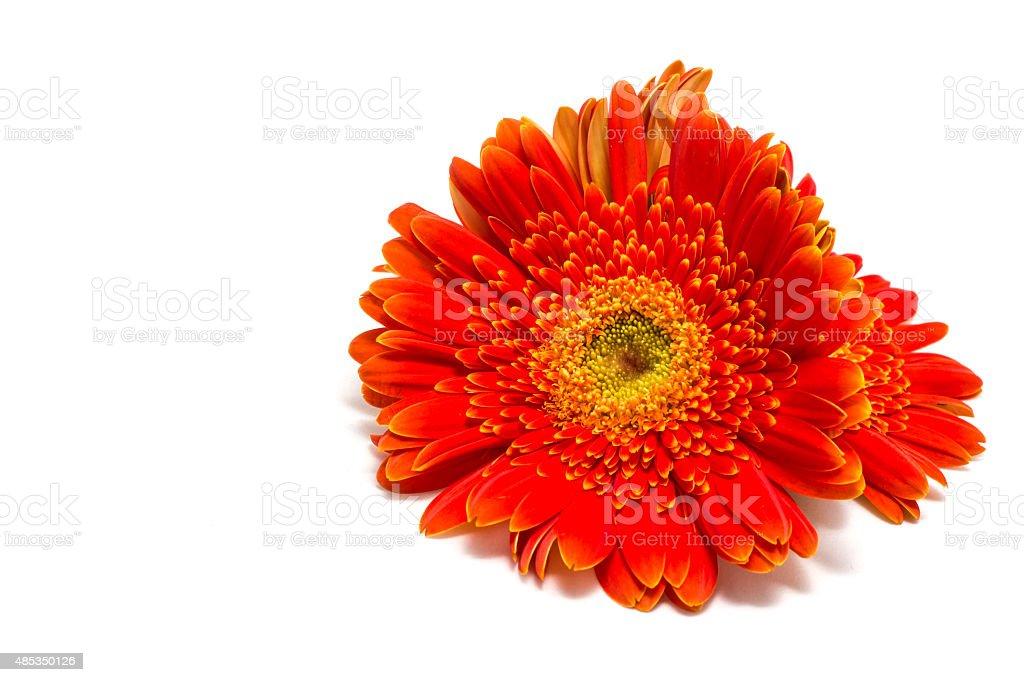 gerbera Blume Isoliert – Foto