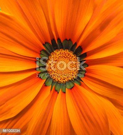 Background of orange gerbera flower macro shot.