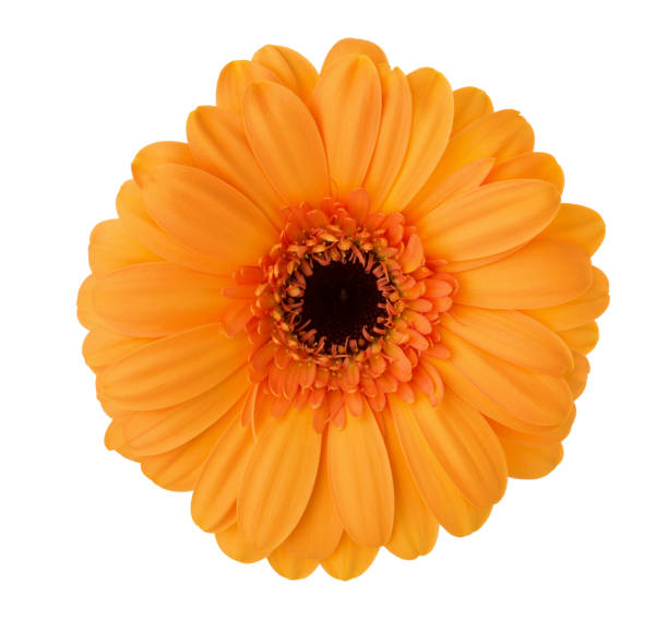 Gerbera flower of orange color isolated on white background picture id1160696602?b=1&k=6&m=1160696602&s=612x612&w=0&h=m7dtpxj1uciqug ohw4xwzhacke9t4urueygm0sa0mw=