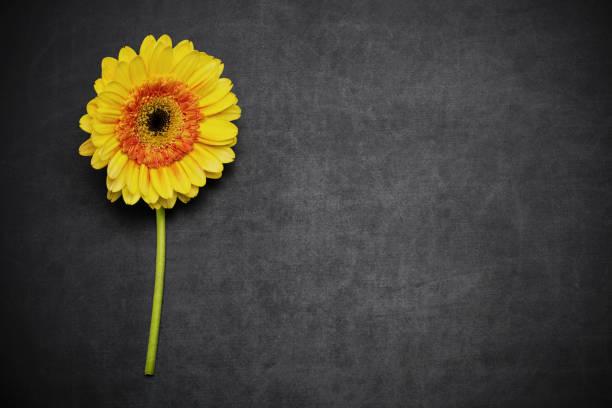 Gerbera flower on blackboard stock photo