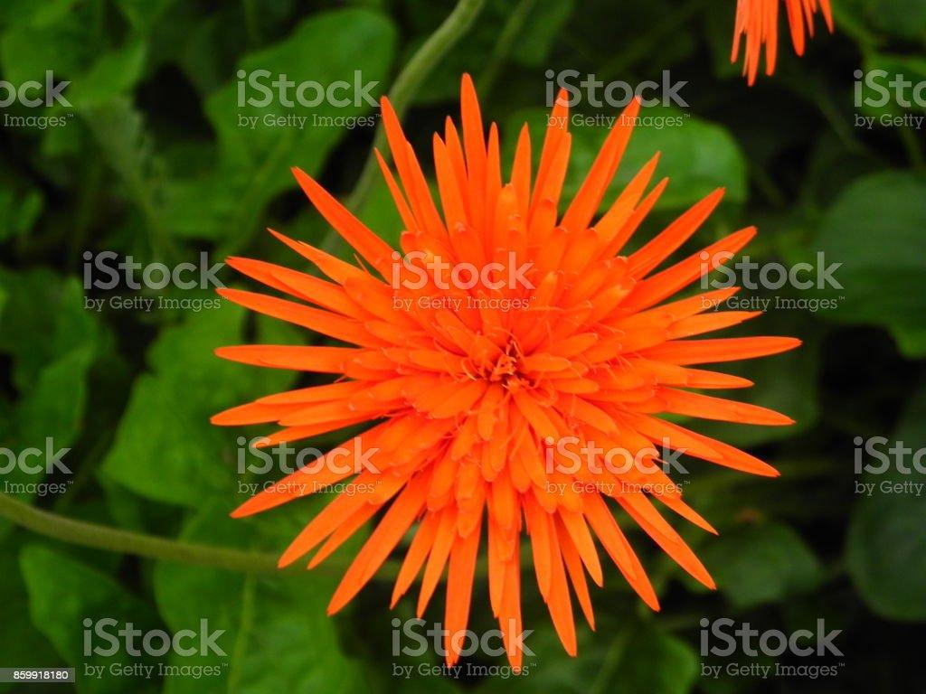 gerbera flower stock photo