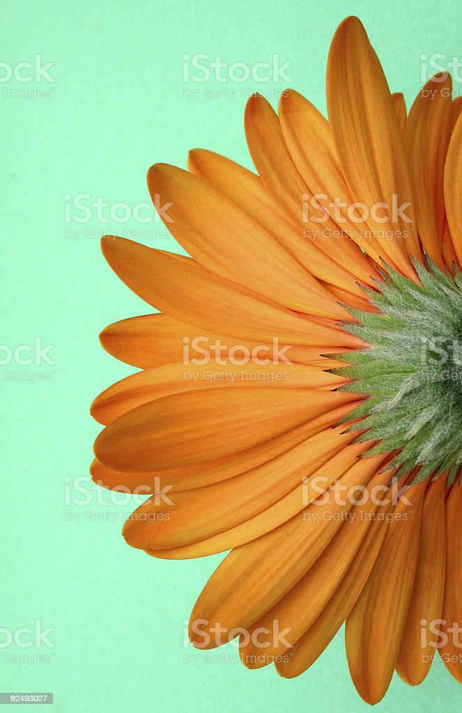 Gerbera from below on green royalty-free stock photo