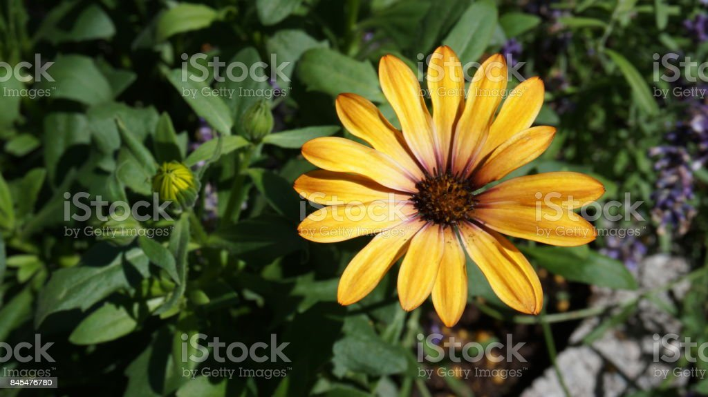 Gerbera gelb orange, Blume stock photo