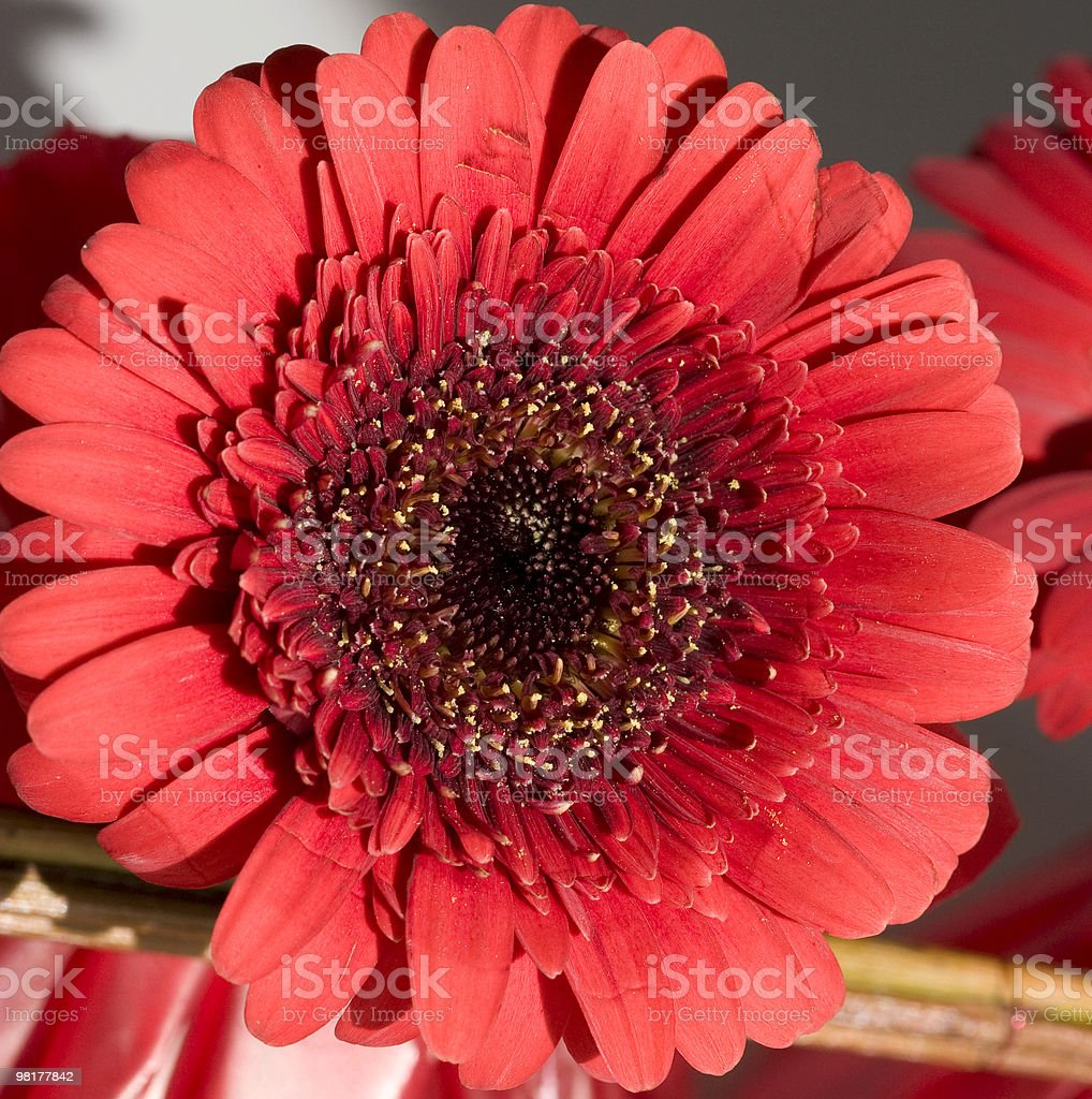 gerbera 'gemini' royalty-free stock photo