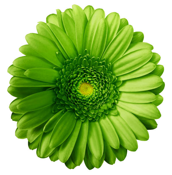 grilă cu varicoză greenfrom)