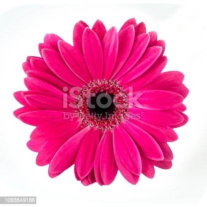 Pink Gerbera isolated against white background