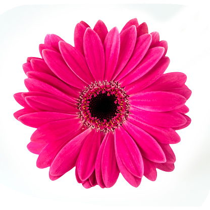 istock Gerbera isolated against white background 1093549186