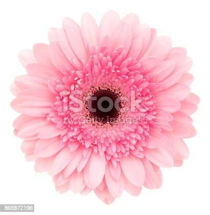 Pink gerbera isolated on white background.