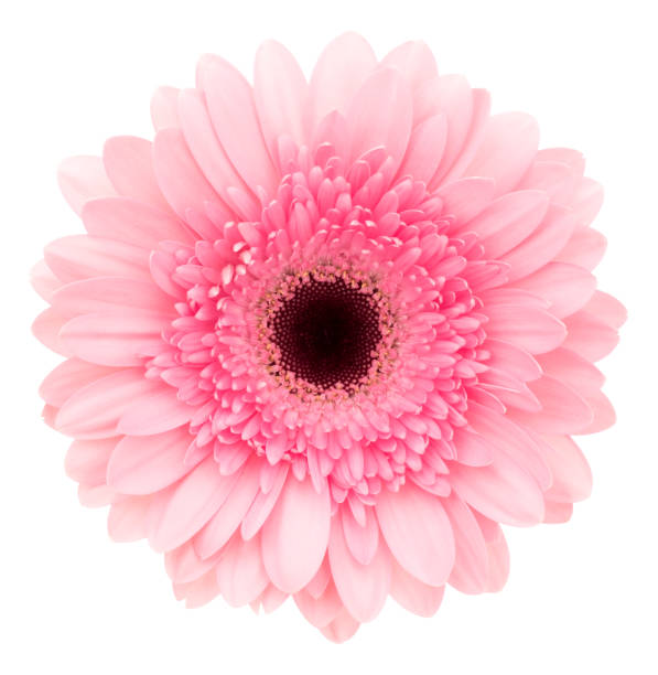gerbera isolated on white. deep focus. no dust. no pollen. - single flower stock pictures, royalty-free photos & images