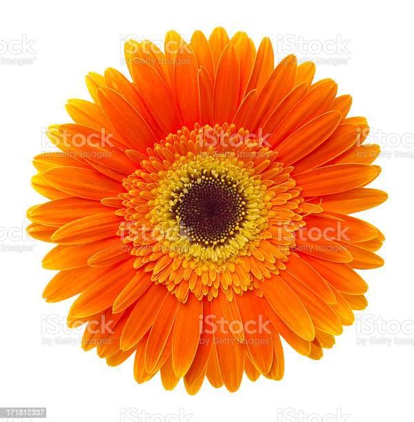 Orange fower on white background.