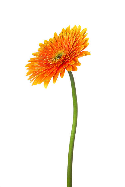 gerbera Orange fower on white background. single flower stock pictures, royalty-free photos & images