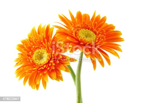 two daisies on white background
