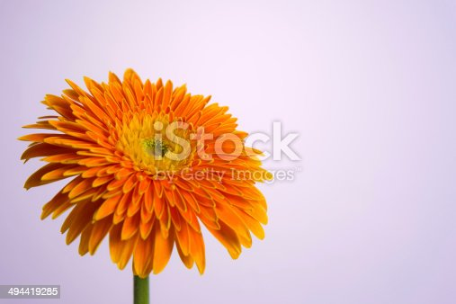 Gerbera on light purple background.
