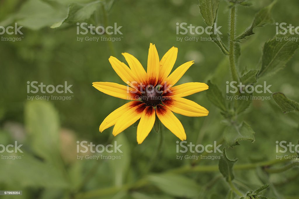 Gerbera royalty free stockfoto