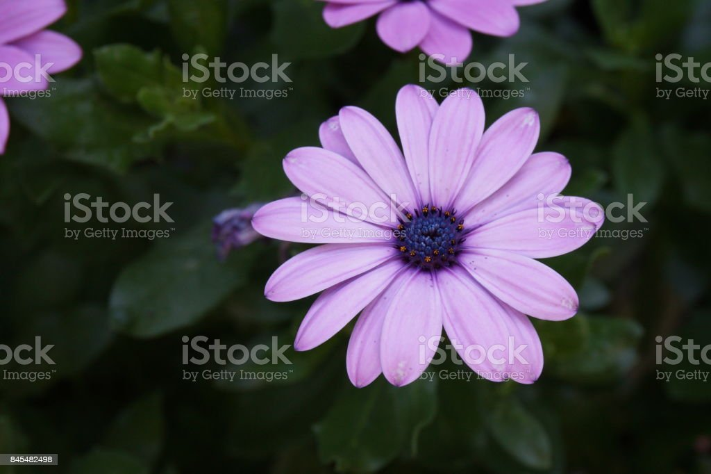 gerbera pink purple flower stock photo