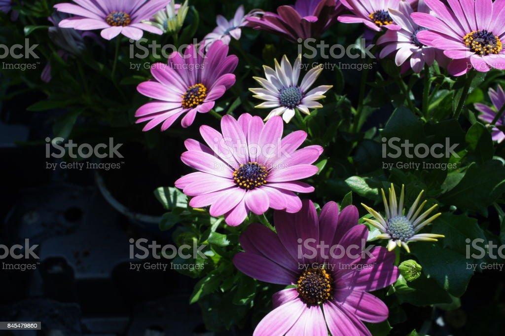 gerbera pink purple white flower stock photo