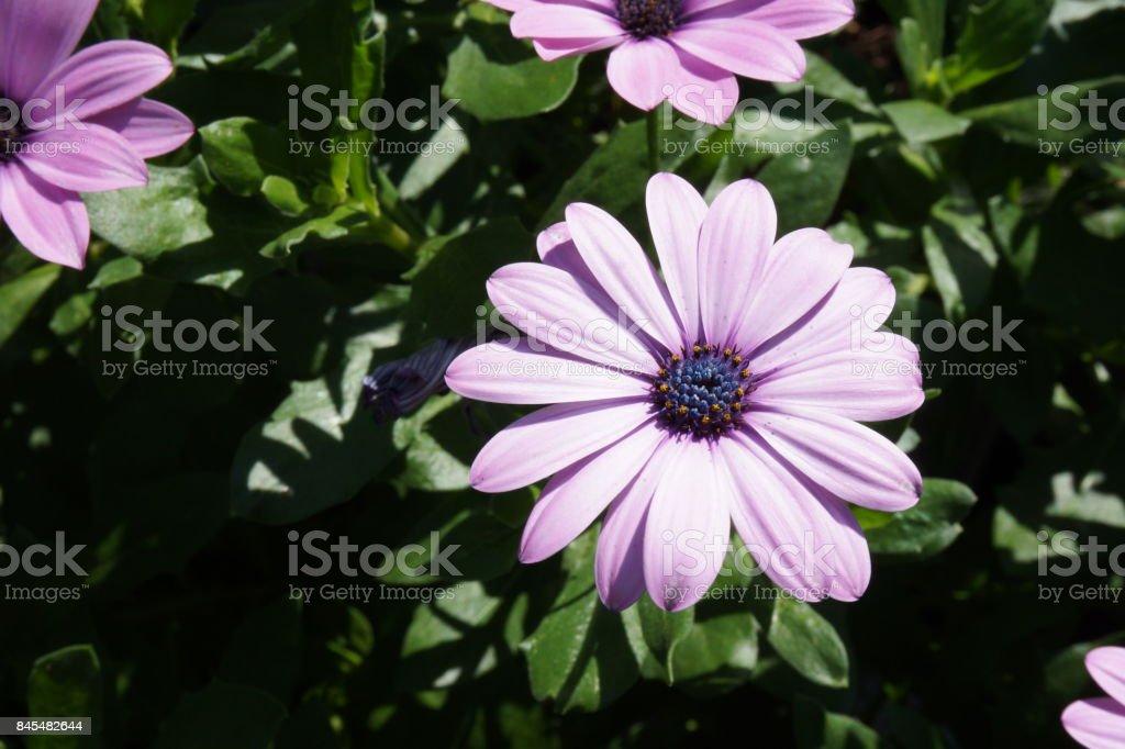 gerbera pink white flower stock photo