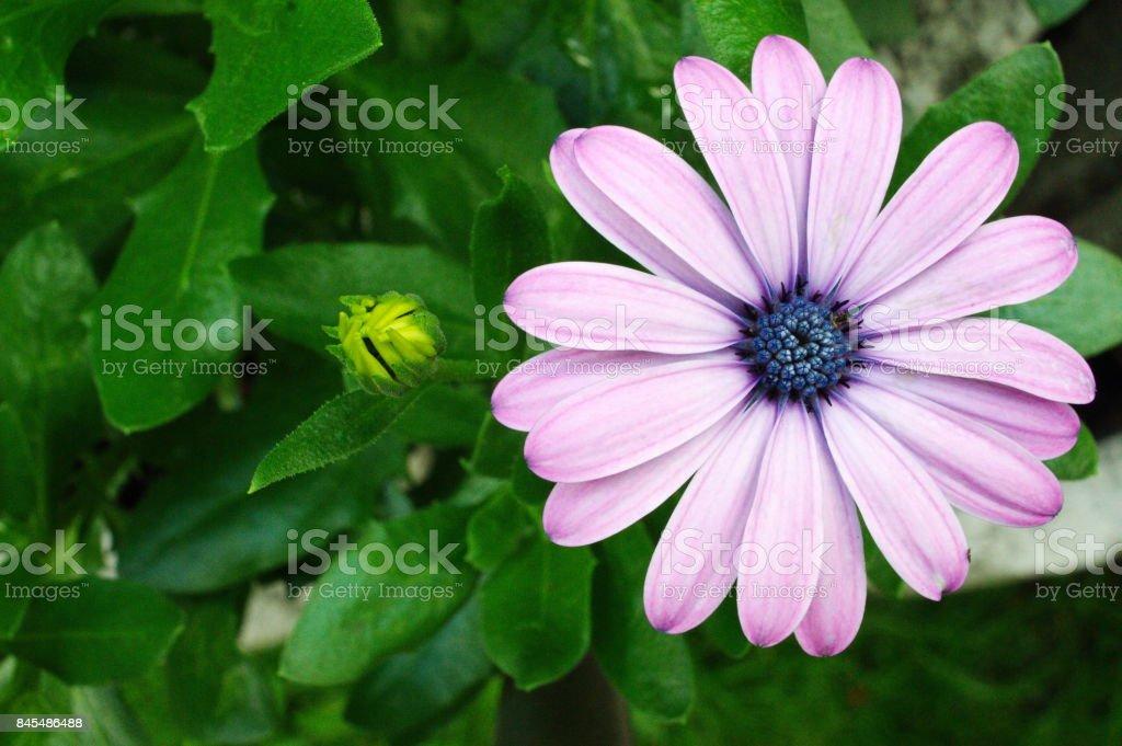 gerbera puple pink flower stock photo