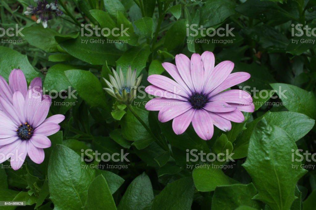 gerbera purple pink flower stock photo