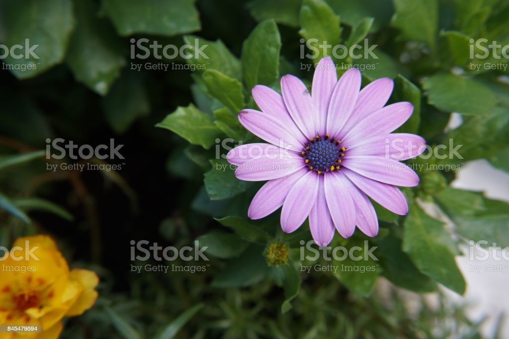 gerbera purple pink white flower stock photo