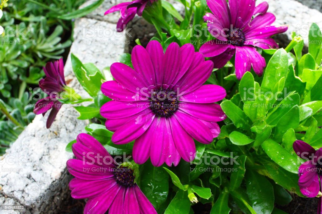 gerbera purple red flower stock photo