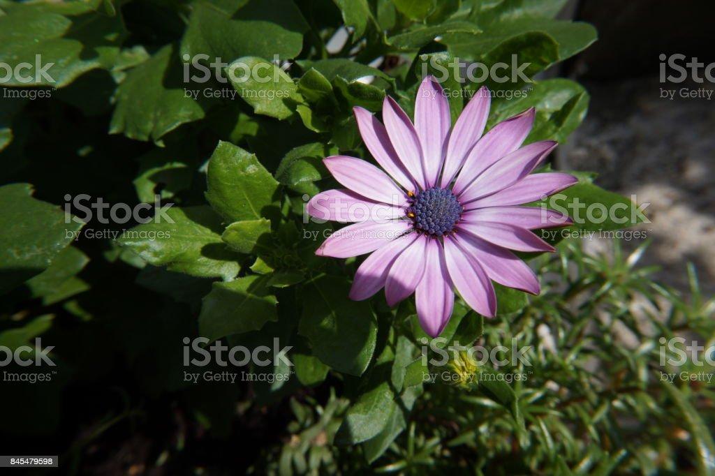 gerbera purple white flower stock photo