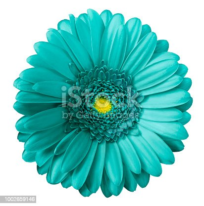 Gerbera turquoise flower  on white isolated background with clipping path.  no shadows. Closeup.  Nature.