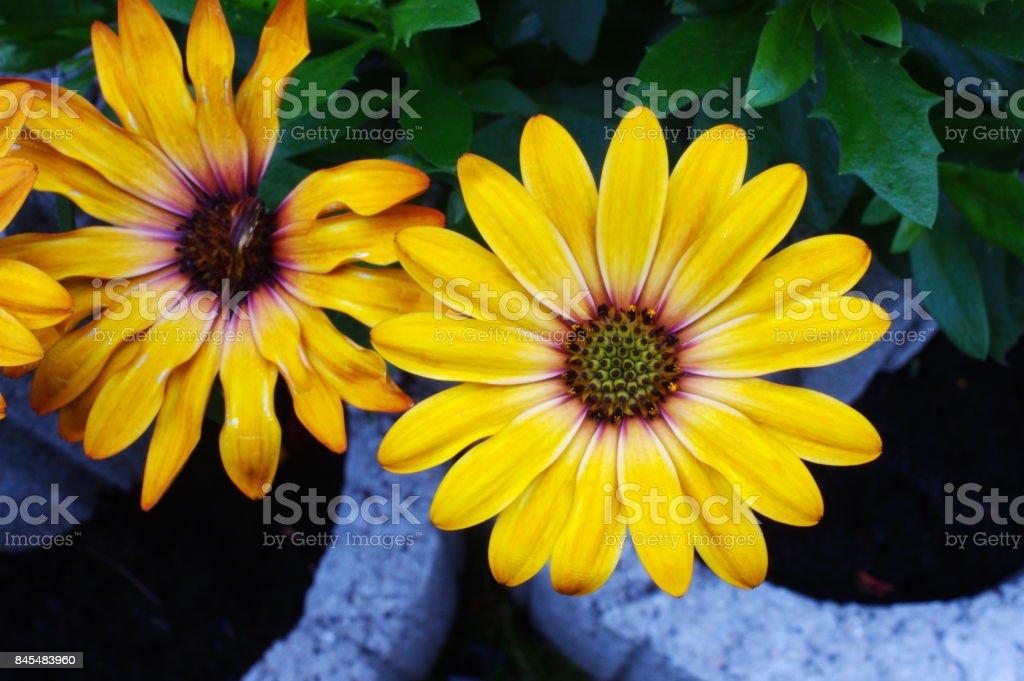 gerbera yellow flower stock photo