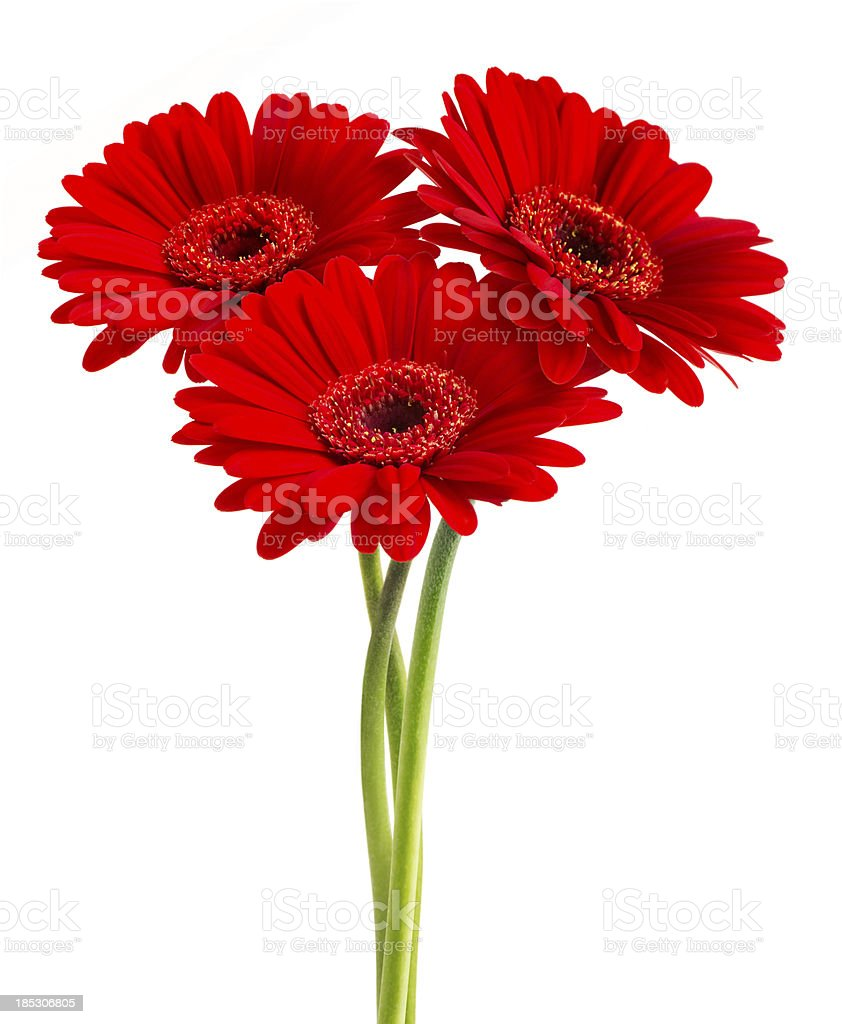 Gerberas (with Clipping Path) stock photo