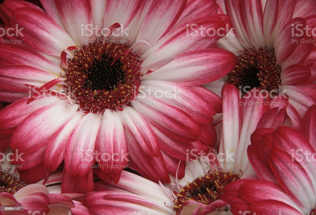 Gerbera`s royalty-free stock photo