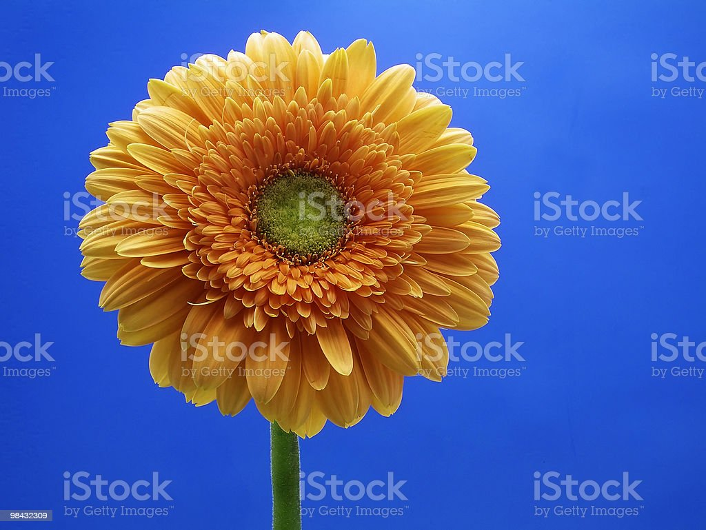 Gerberas royalty-free stock photo