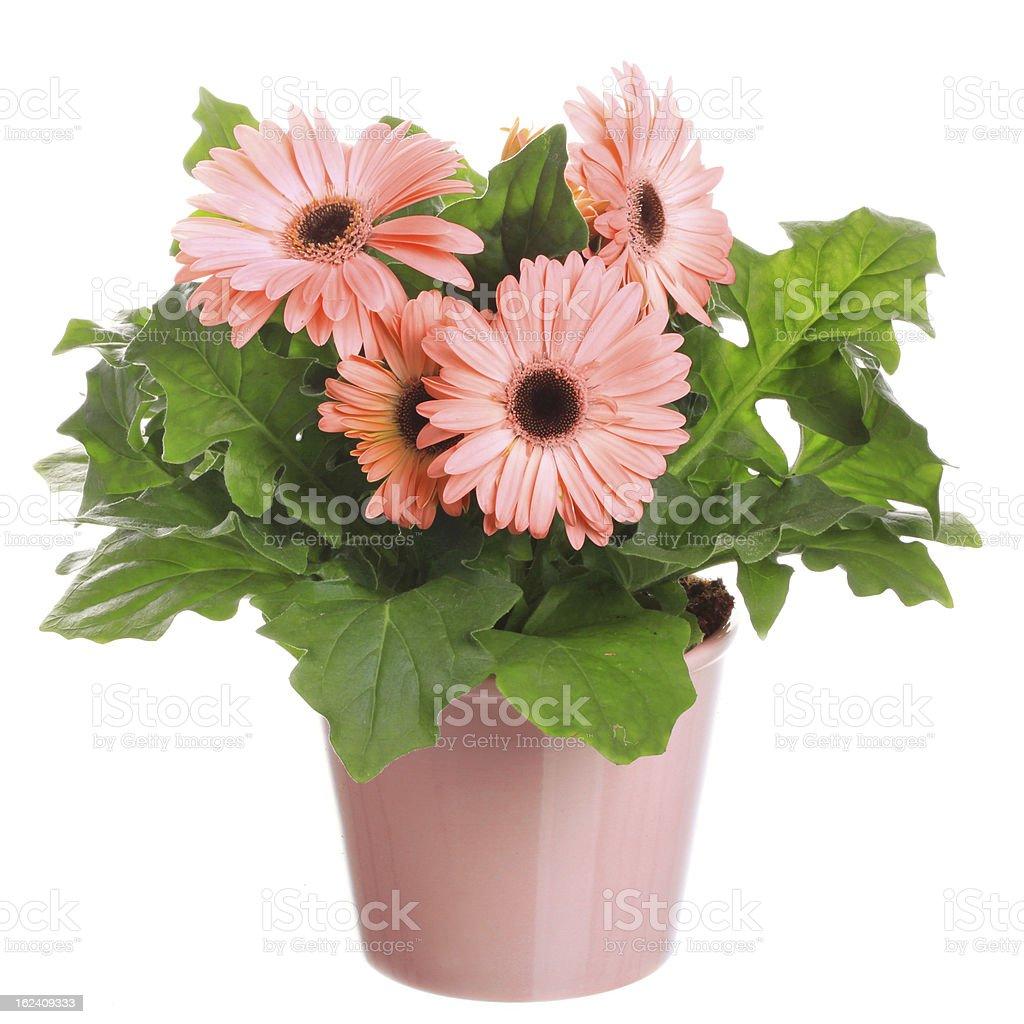Gerber-Blumen in eine flowerpot – Foto
