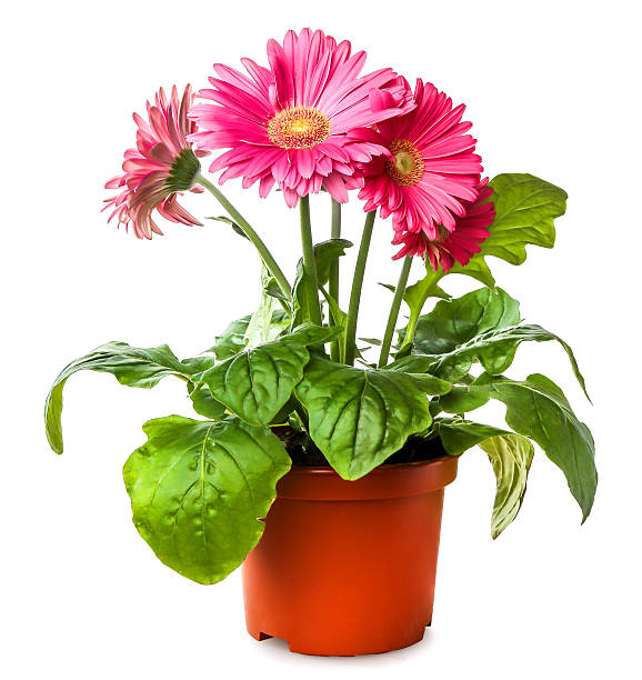 Gerber's flowers in  flowerpot isolated on a white background stock photo