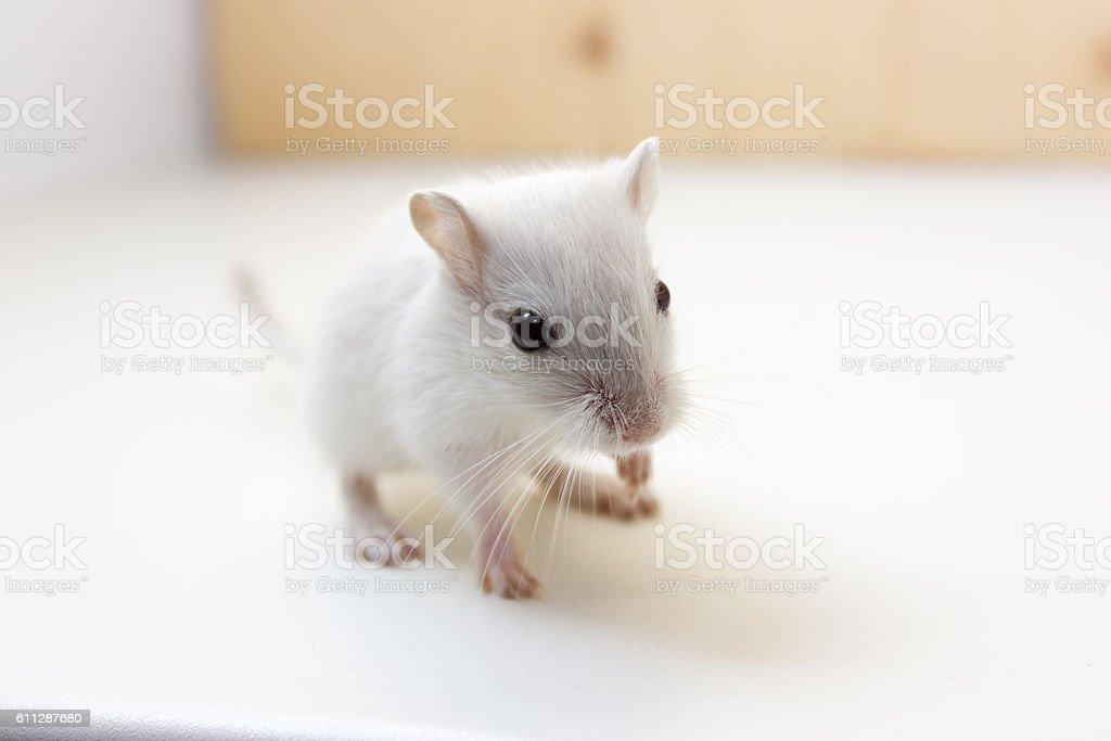 Gerbil - cute pet stock photo