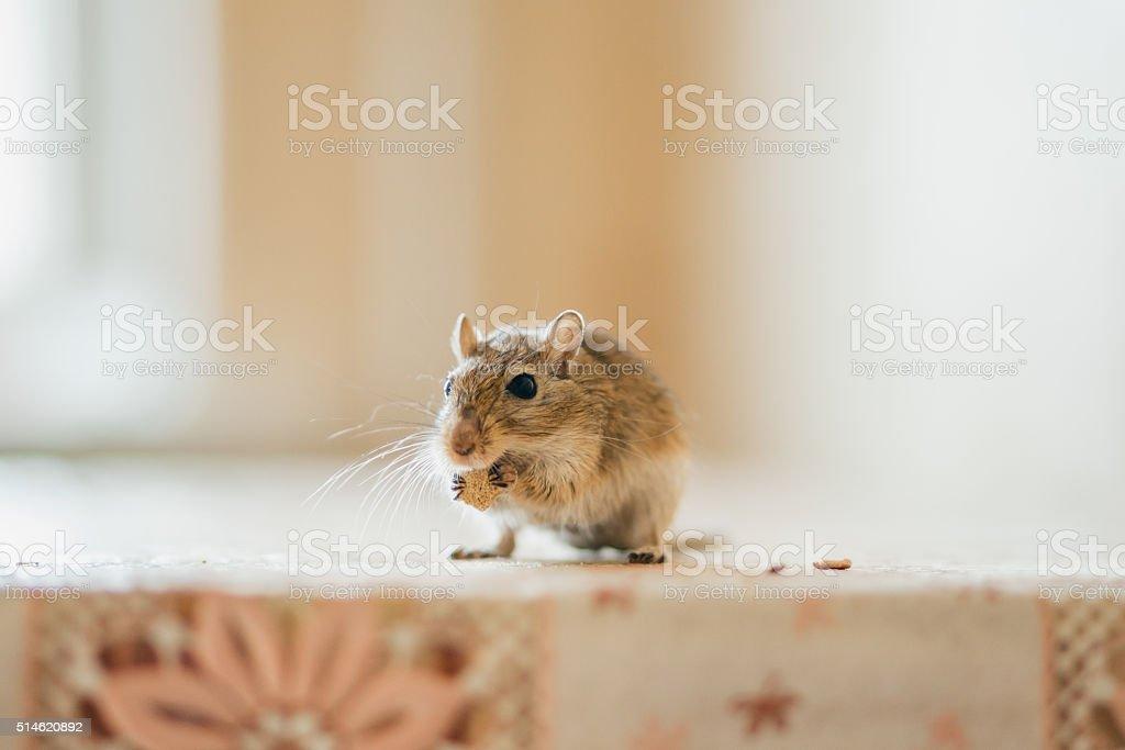 Gerbil eating grain on the table stock photo