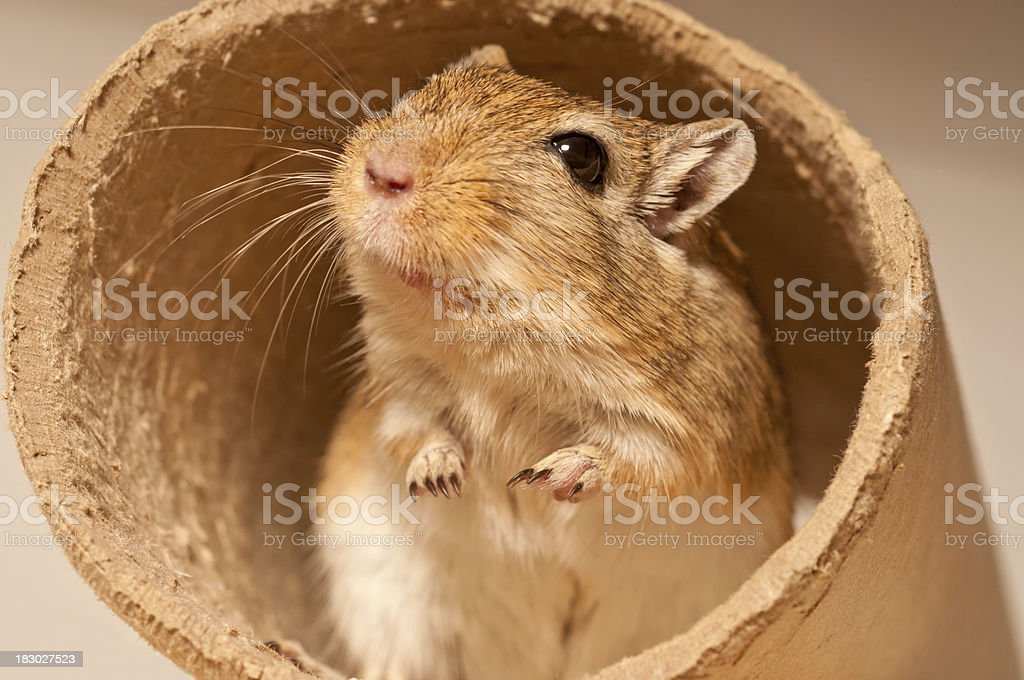 Gerbil in a tube stock photo