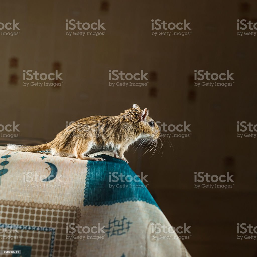 Gerbil mouse standing on the edge of the table royalty-free stock photo