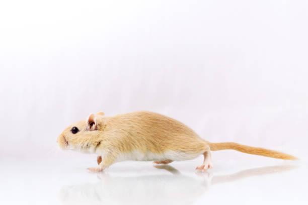 Gerbil on white background stock photo