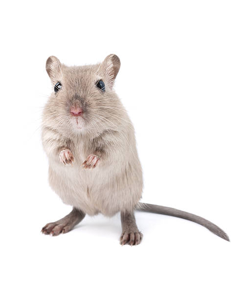 Gerbil Related light box: rodent stock pictures, royalty-free photos & images