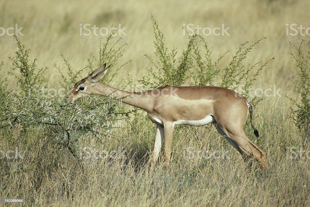 Gerenuk (giraffe antelope) Feeding stock photo