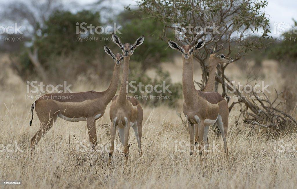 Gerenuk (Litocranius walleri), Tsavo East, Kenya. royalty-free stock photo