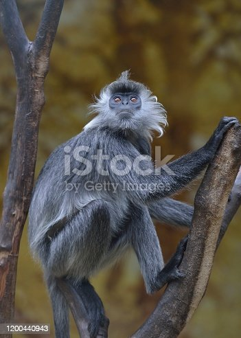 Theseis a Germain's Langur, They live in the forests of yunnan,China,and are rare animals.