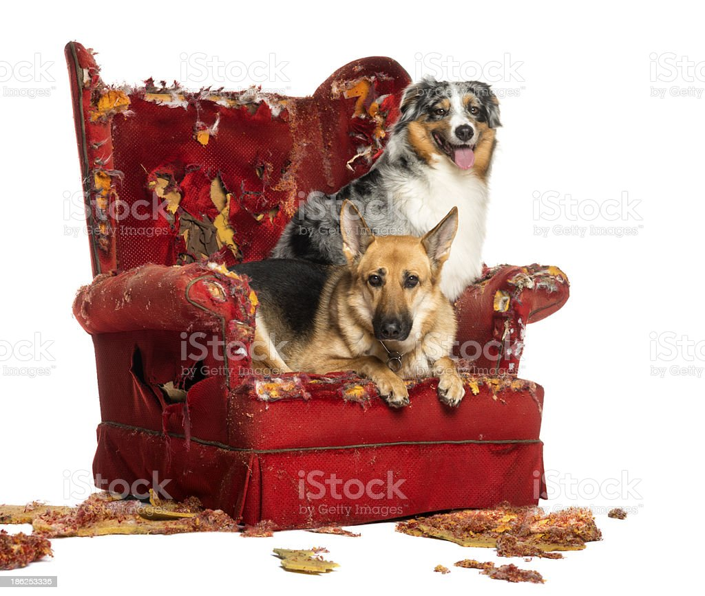 German and Australian Shepherd on a destroyed armchair, isolated stock photo